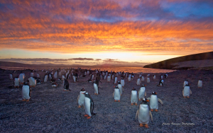 Gentoo Penguin colony at sunset, Saunders Island, Falkland Islands