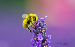 Honey Bee feeding on lavendar nectar, San Juan Islands, Washington, U.S.