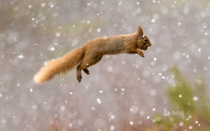 Eurasian red squirrel, Scotland