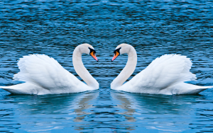 Swan Love Wallpaper