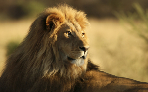 The Male African Lion Wallpaper