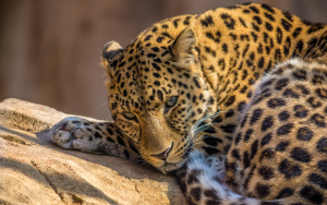 Zoo Leopard Wallpaper