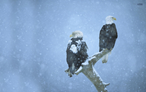 Bald Eagles in the snow Wallpaper