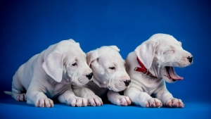 Cute 3 Puppies Wallpaper
