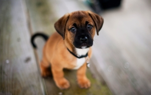 Cute American Staffordshire Terrier Puppies Wallpaper