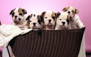 Cute Bulldog Puppy Wallpaper