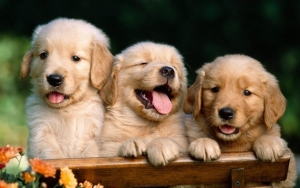 Cute Golden Retriever Puppies Wallpaper
