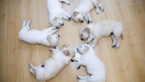 Cute Puppies Lay Down Wallpaper