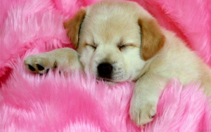 Cute Puppy Sleeping Wallpaper