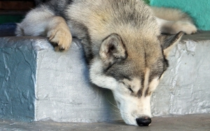 Cute Sleeping Husky Wallpaper